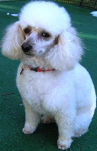 Daisy is a beautiful cream Mini Poodle, approx 5 years old, 14 lbs and totally potty trained. Daisy is a gentle and very nice girl, she likes other dogs buit we feel she would be better as an only dog who can get all the attention. She loves to go for