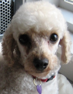 Griffin is a registered AKC male Toy Poodle. He was born on 11/16/20